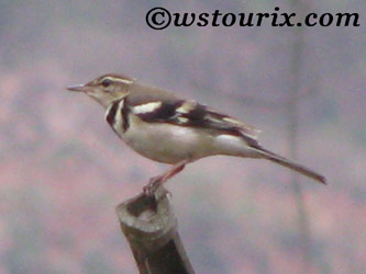 forestwagtail