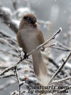 brownparrotbill